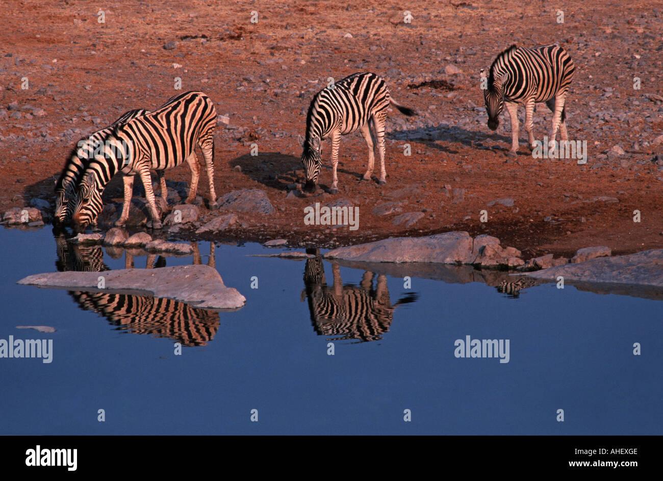 Halali waterhole Halali camp Etosha National Park Namibia Africa Zebra taking a dawn drink Namibia Africa - Stock Image