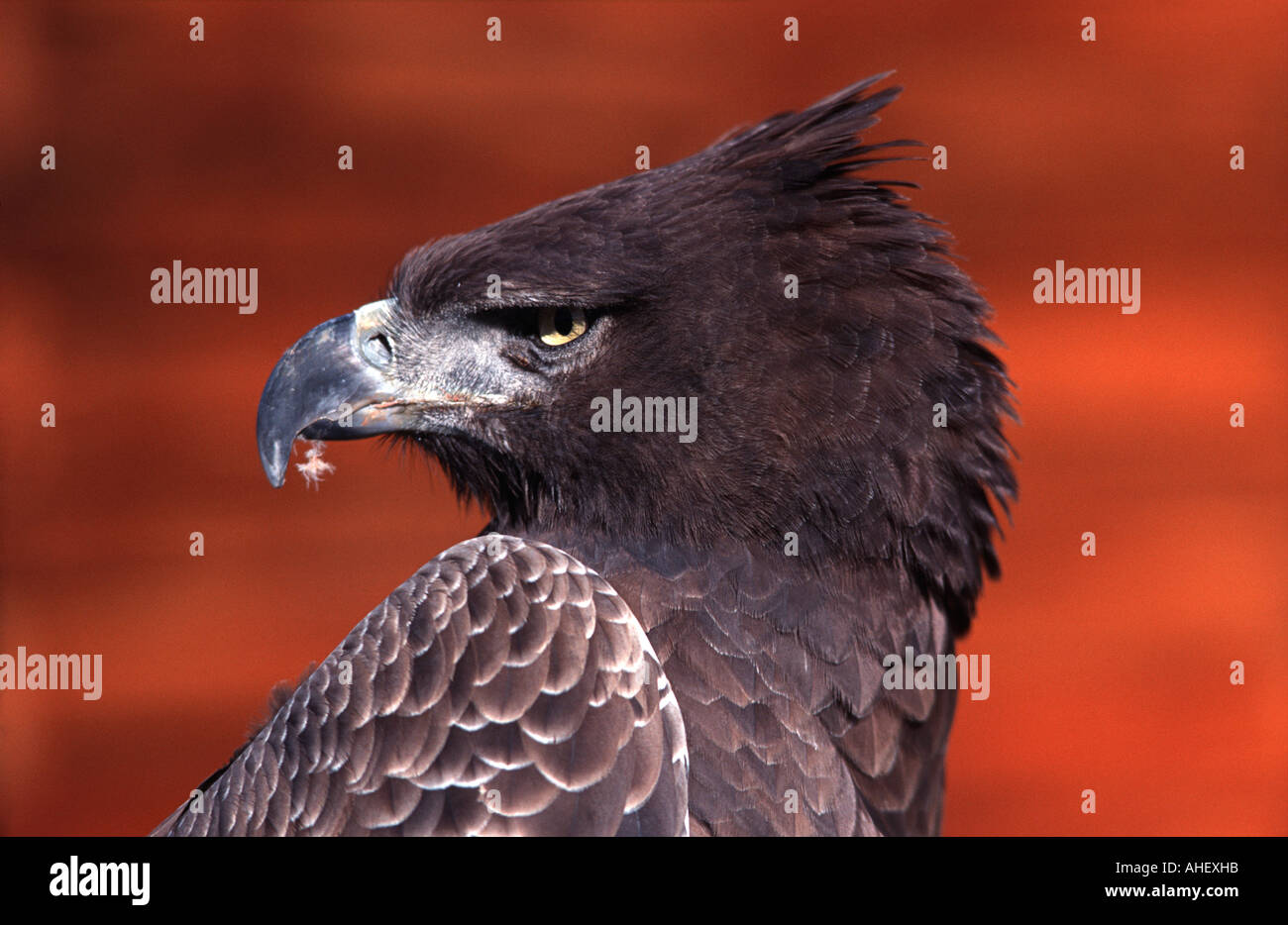 Portrait of an Eagle Likely a Martial Eagle Polemaetus bellicosus Photographed in South Africa - Stock Image