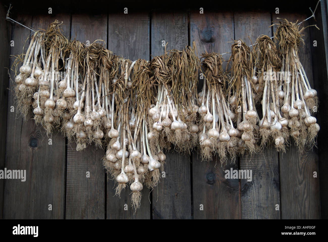 Freshly Dug Garlic Bulbs Hung Up to Dry In a Doorway of a Village House Stock Photo