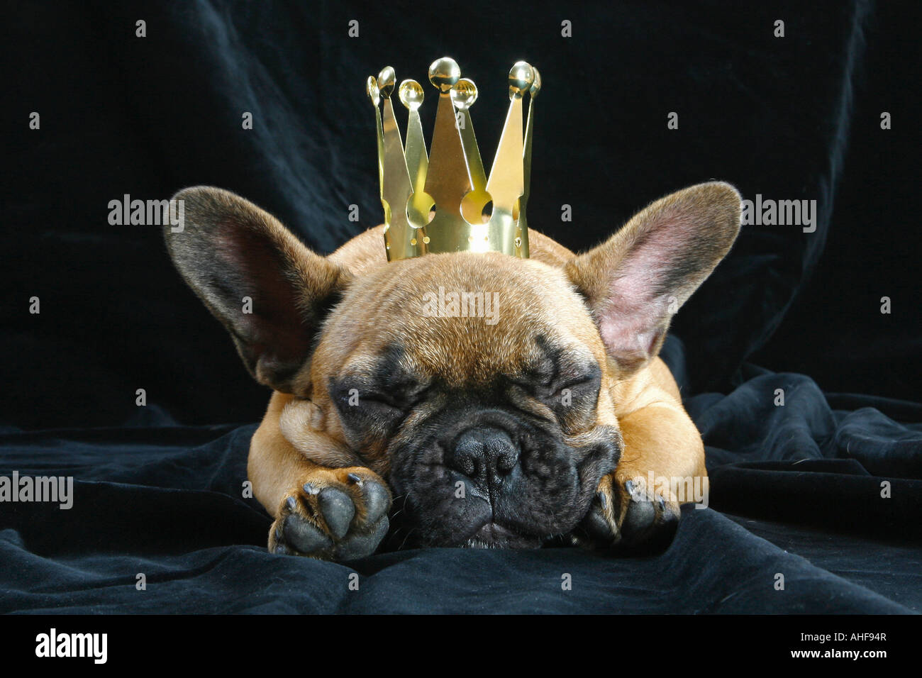 young French Bulldog with crown - Stock Image
