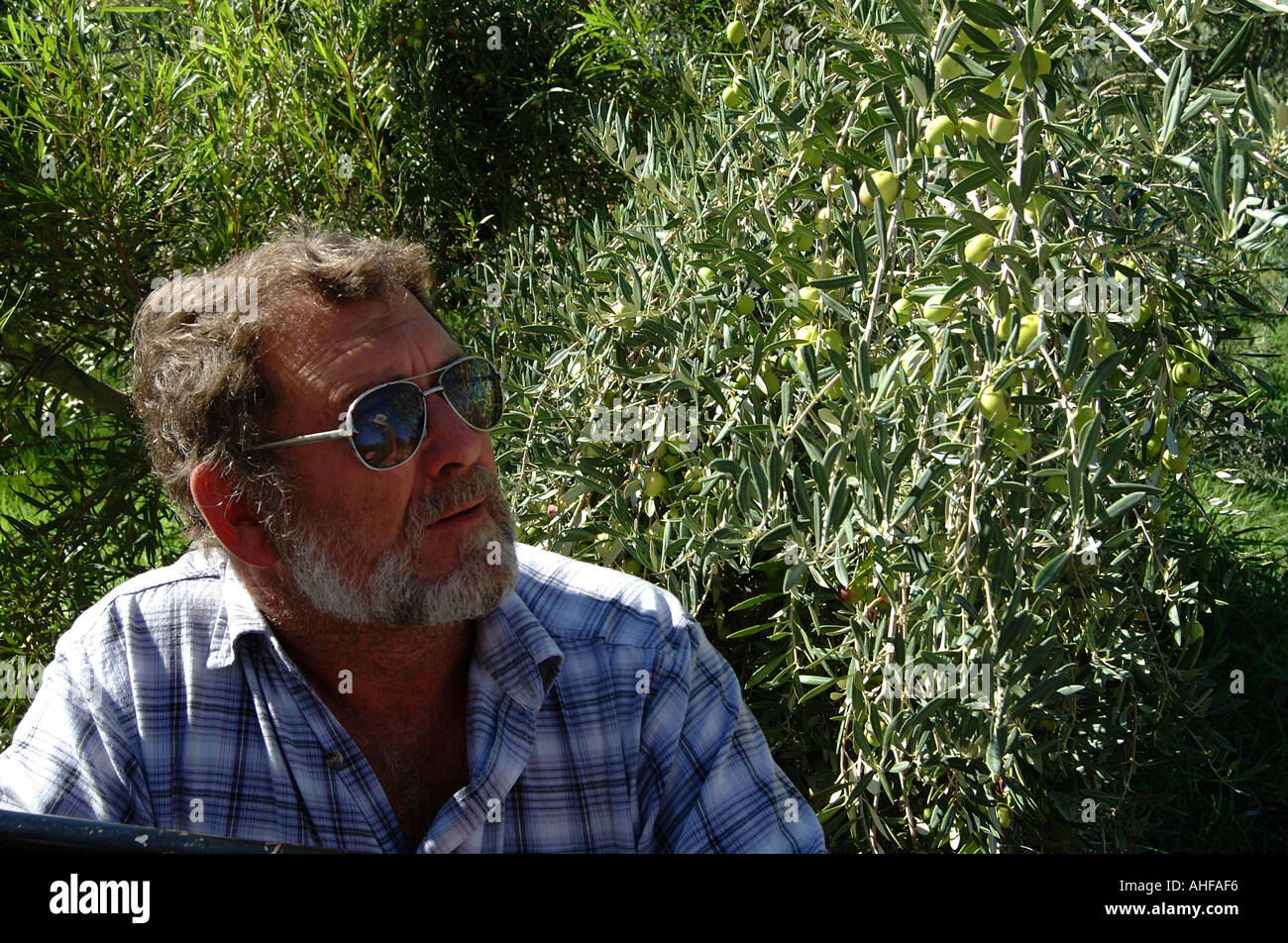 Olive Farming at Prince Albert in The Great Karoo South Africa Olive Farmer with Crop of olives - Stock Image
