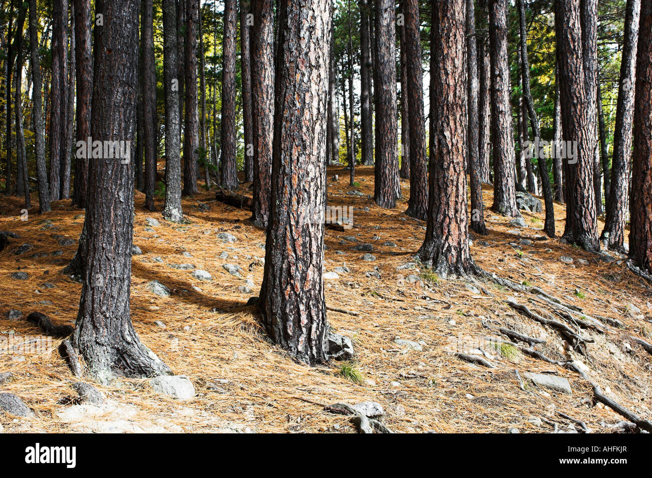 A stand of red pine trees Pinnus resinosa AKA Norway pine in Bear Head Lake State Park near Ely Minnesota - Stock Image