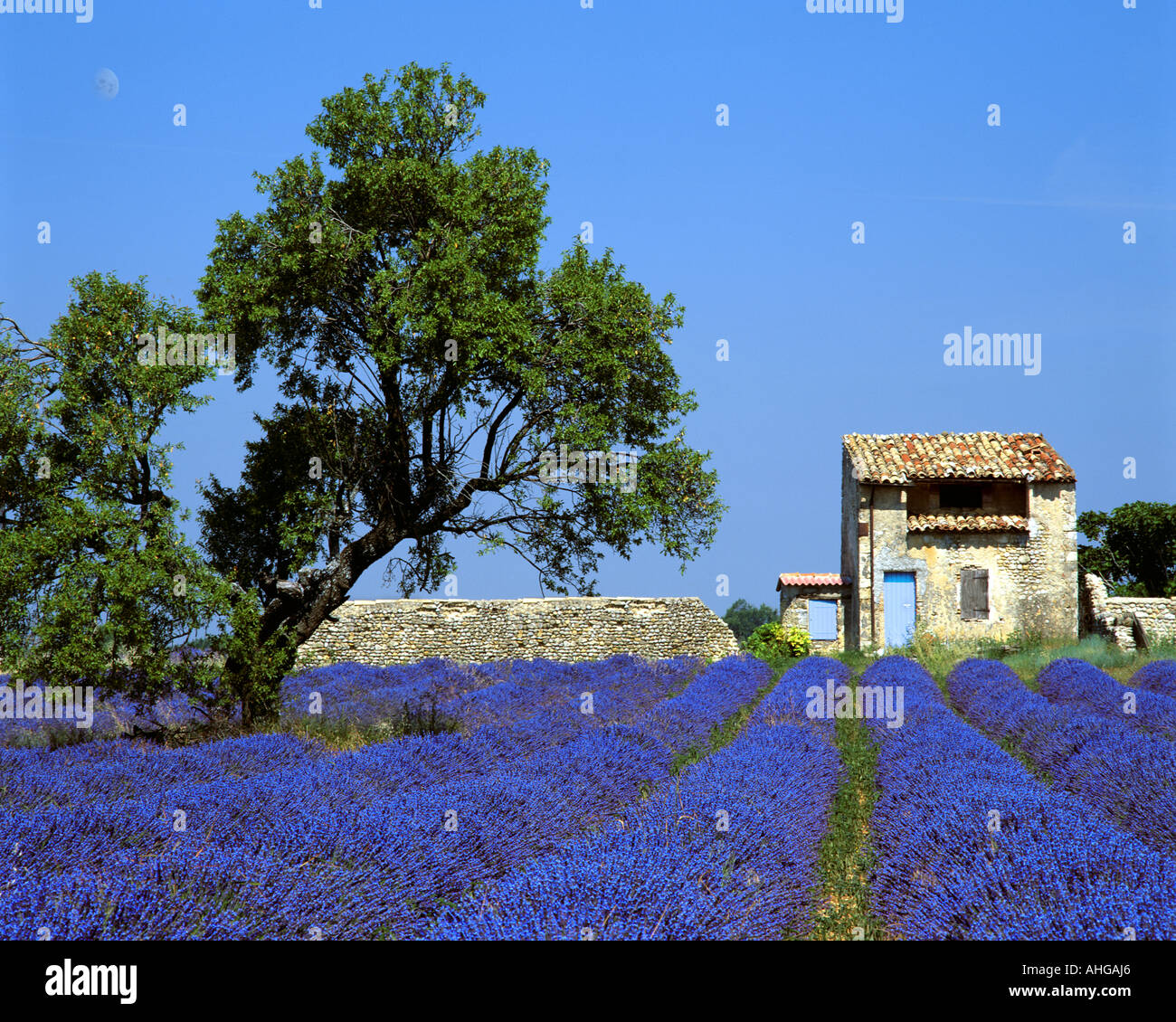FR - ALPES-DE-HAUTE-PROVENCE:  Lavender Field and tree on Plateau de Valensole near Puimoisson - Stock Image
