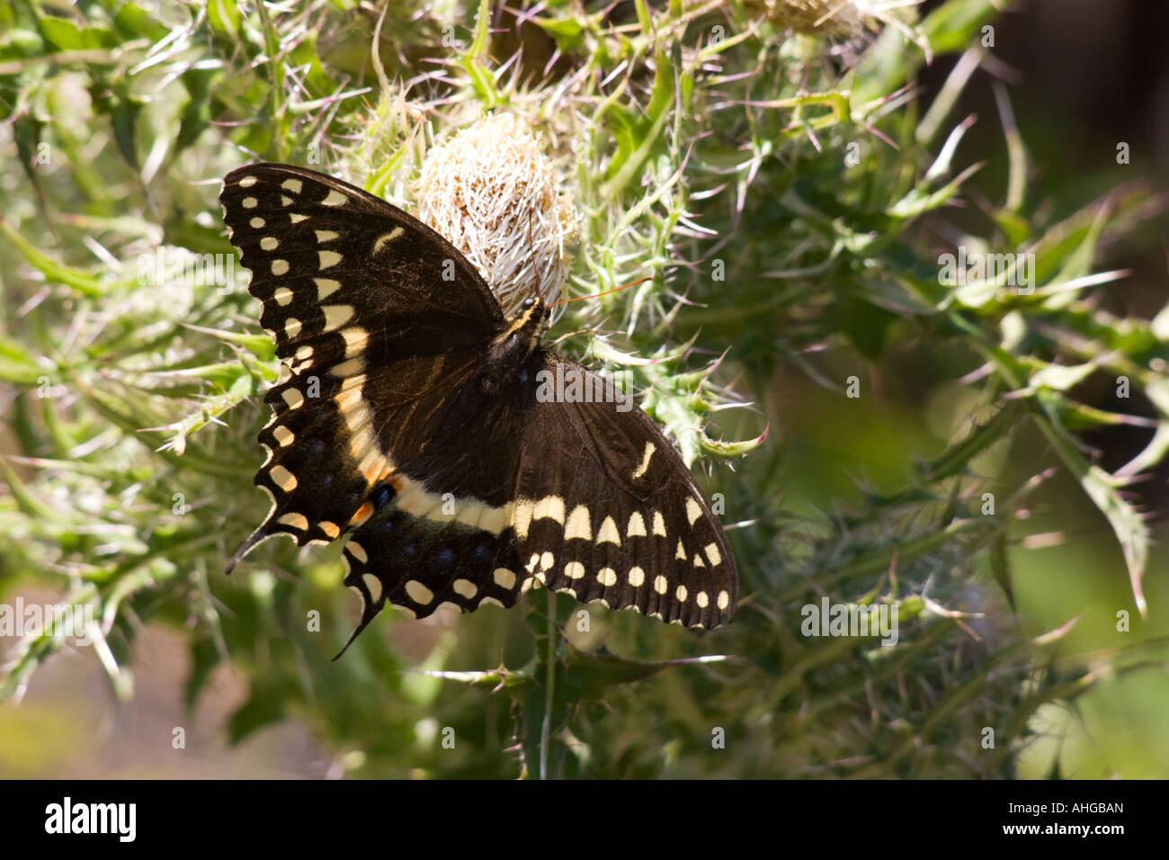 A swallowtail butterfly. - Stock Image