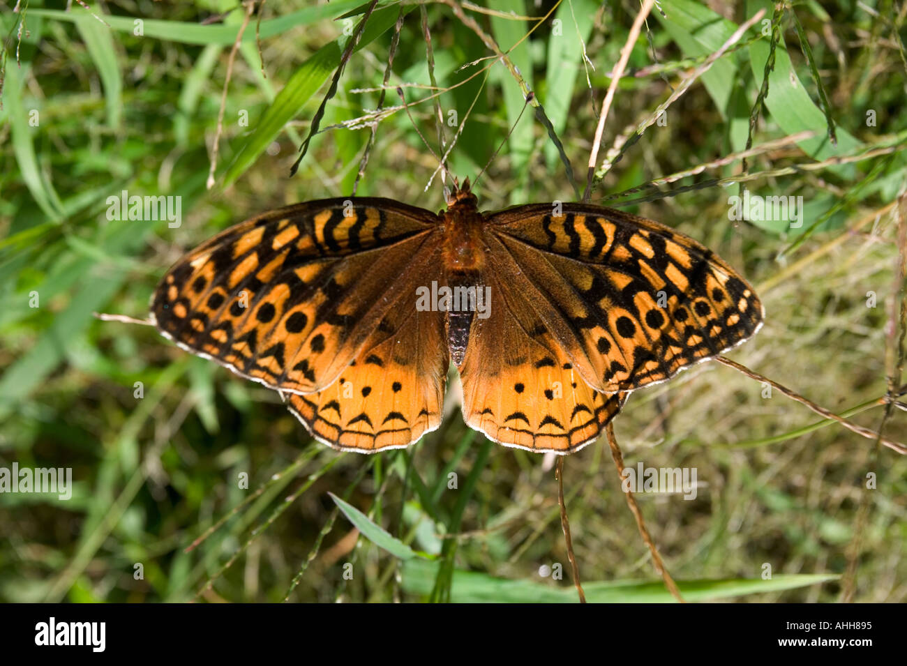 Fritillary butterfly found on a farm in New Hampshire USA - Stock Image