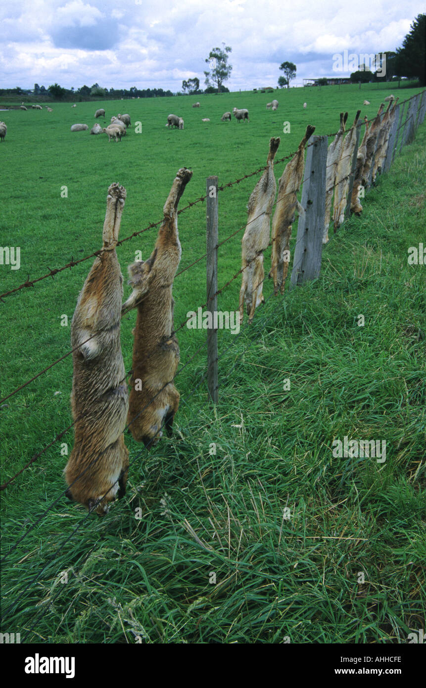 Dead foxes hung on a sheep farm fence Victoria Australia - Stock Image