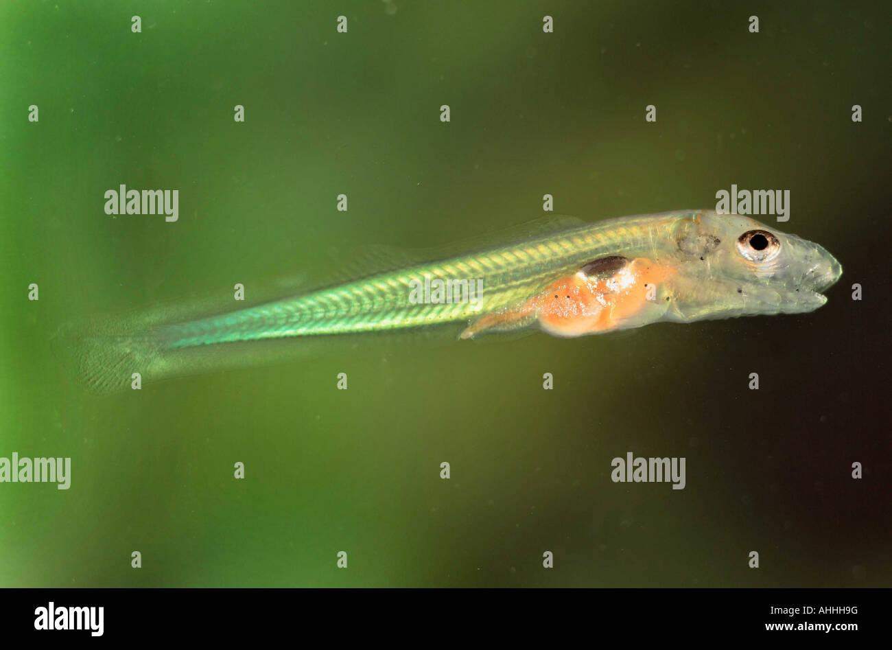 asper, Rhne-streber, Rhone streber (Zingel asper), larva after first feed, Germany, Bavaria - Stock Image