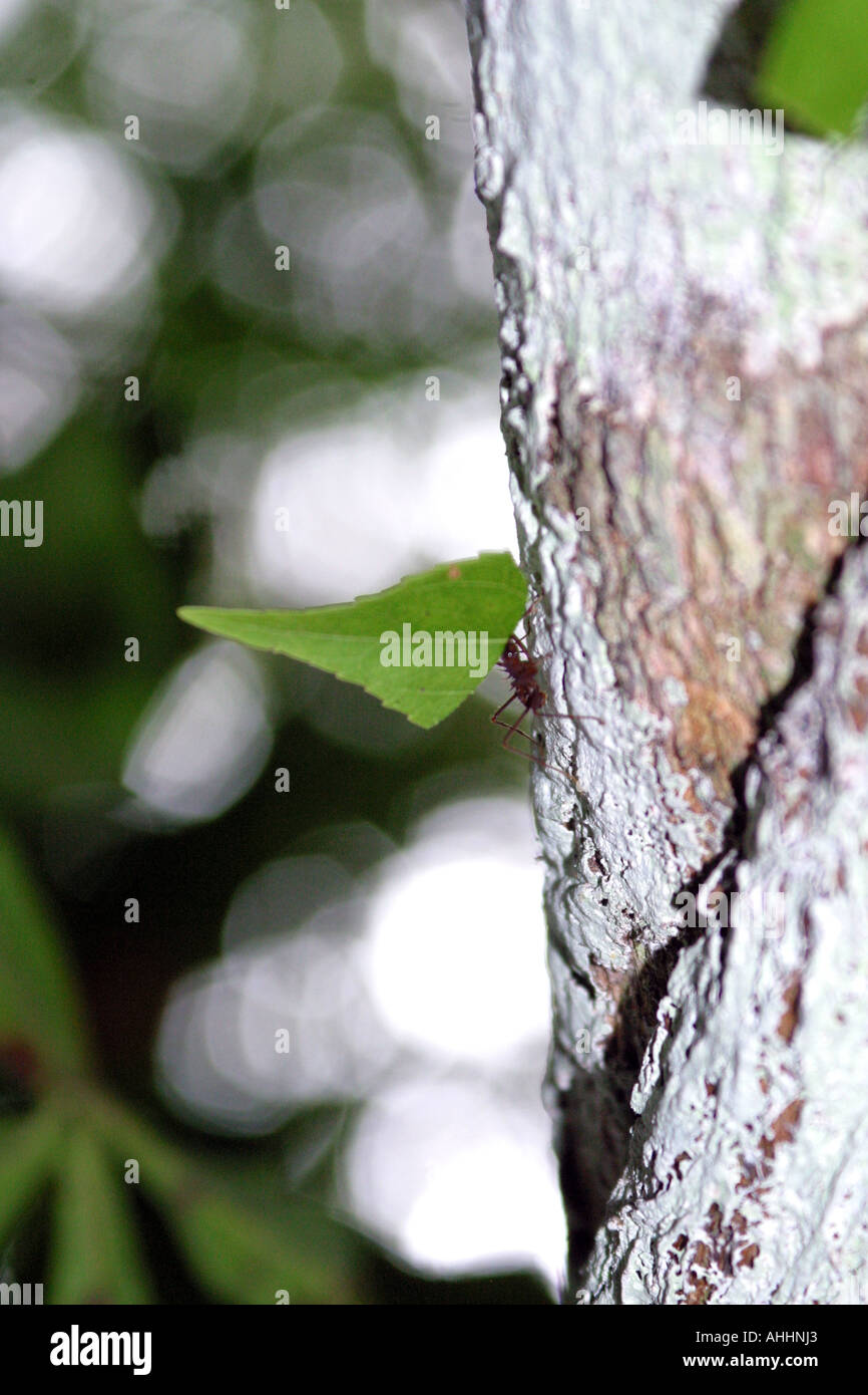 Ant carrying a leaf up a tree in the jungles of Peru South America - Stock Image