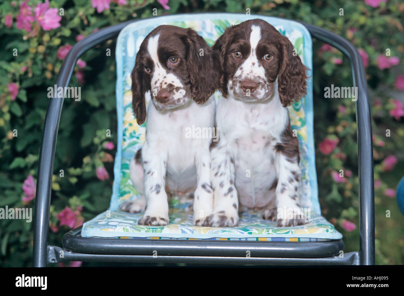 Liver and White English Springer Spaniel Puppies Stock Photo