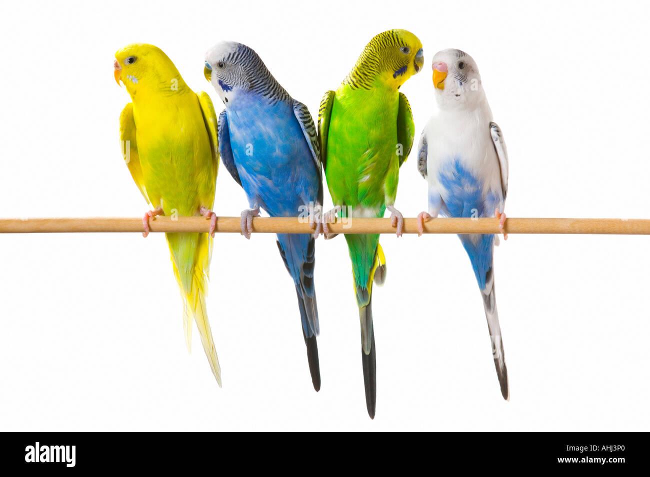 Budgie birds on a perch