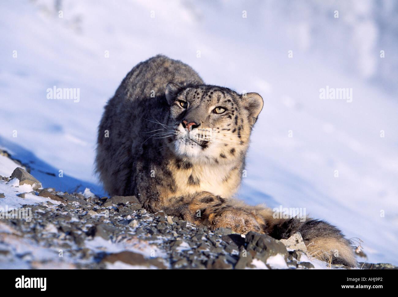 Snow leopard in snow - Stock Image