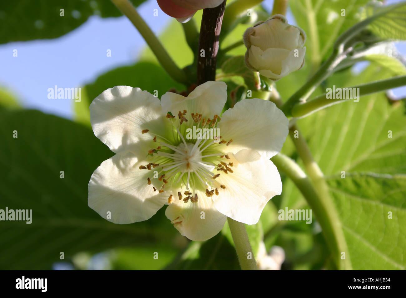 Kiwi Plant Flowering The Fruit Symbol Of New Zealand Stock Photo