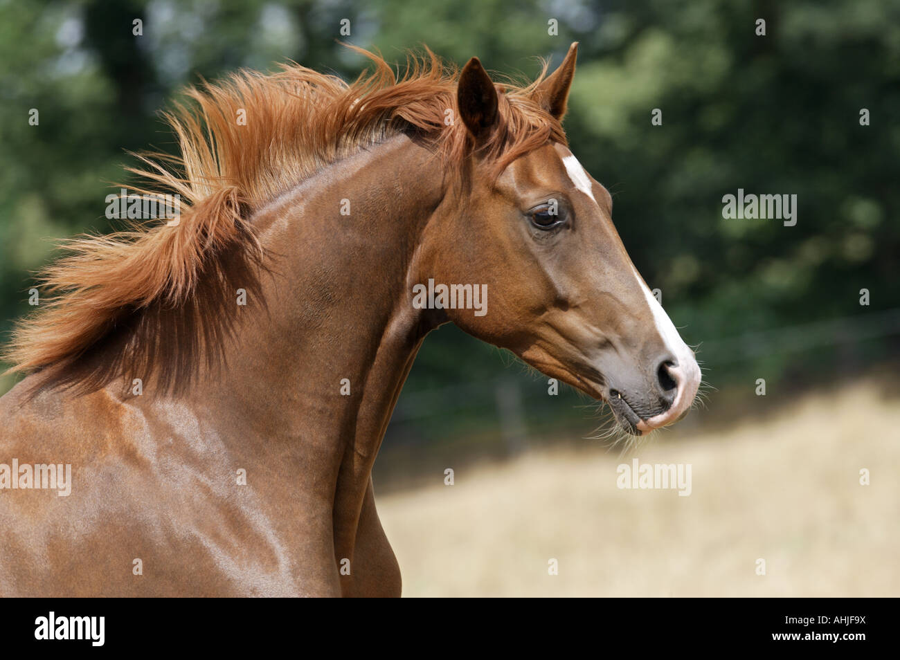 Oldenburger - Portrait | - Stock Image