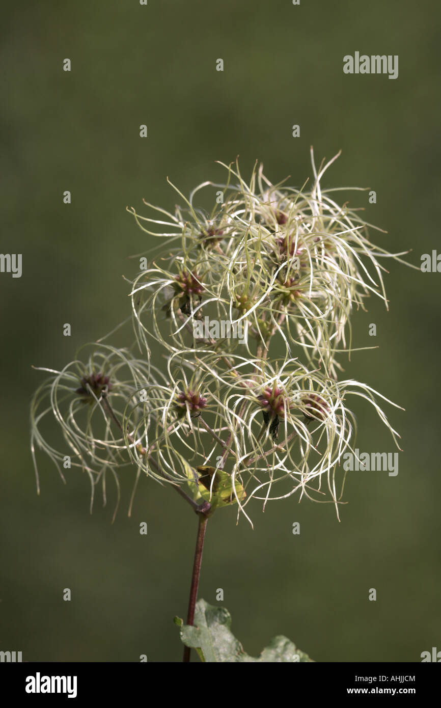 close-up of seed heads - Stock Image