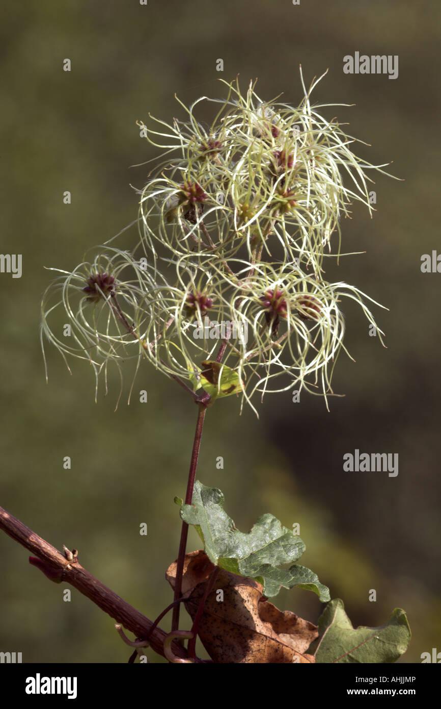Traveler's Joy (Old Man's Beard) Clematis vitalba close-up of seed heads - Stock Image