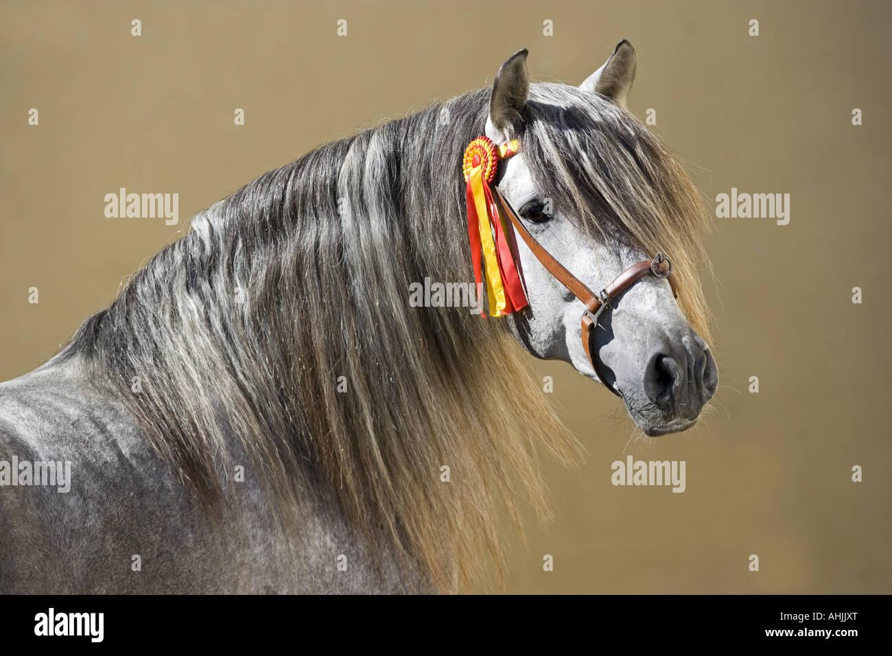 Pure Spanish-bred - portrait - Stock Image