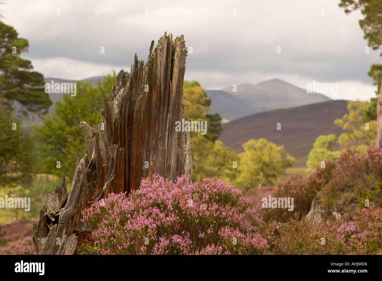 Scottish purple heather moors and Caledonian Pine trees Mar Lodge Estate, Braemar, Cairngorms National Park Scotland uk - Stock Image