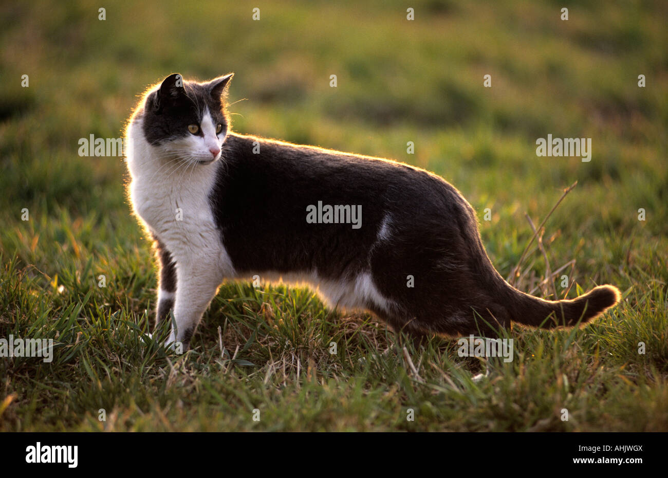 Schwarzweiße Hauskatze in Wiese black and white domestic cat in meadow - Stock Image