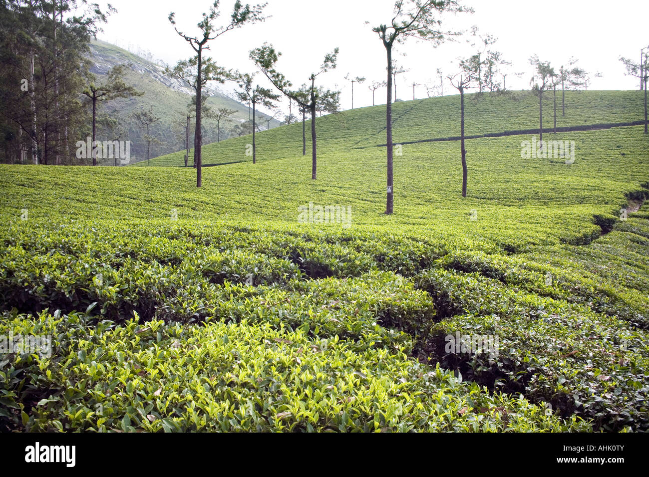 Swathes of Munnar tea estates rolling over slopes of south-western Ghats  mountain range dividing Kerala from Tamil - Stock Image