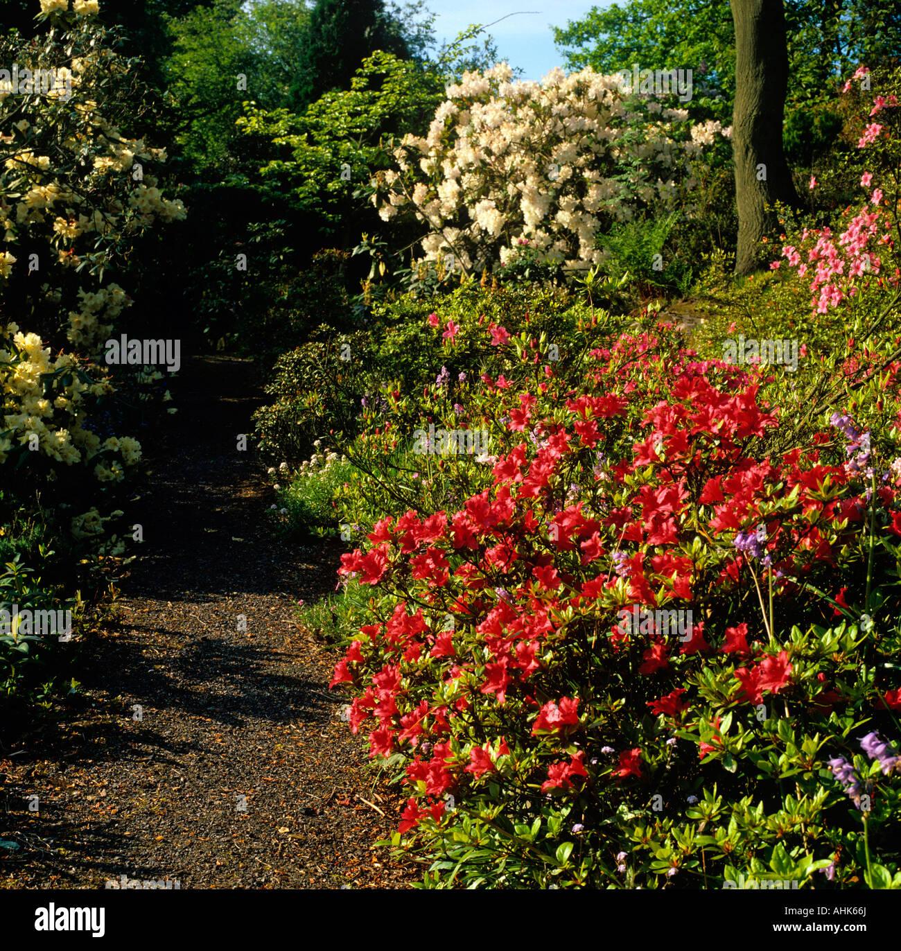 UK Cheshire Alderley Edge Rhododendron Azalea Garden Stock Photo ...