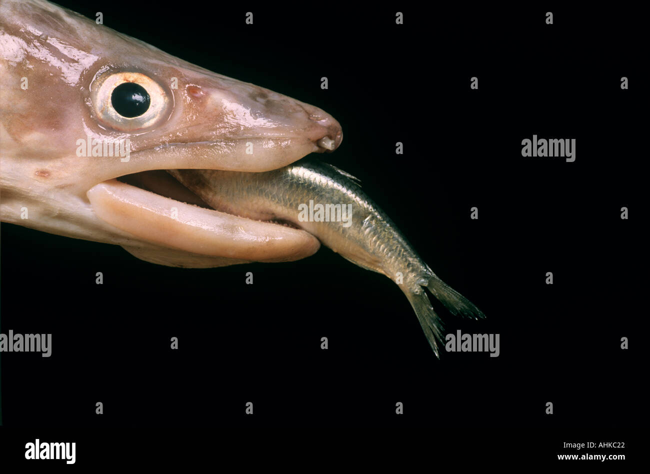 Big fish eating little fish stock photo 2685985 alamy for What can fish eat