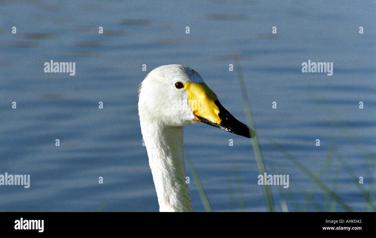 Whooper swan close-up - Stock Image