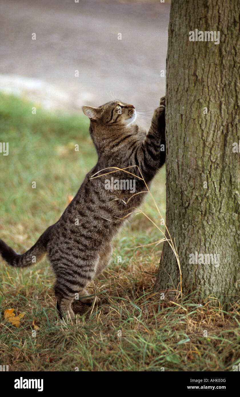 getigerte Hauskatze mit Tatzen an Baum tabby domestic cat with paw on tree Stock Photo