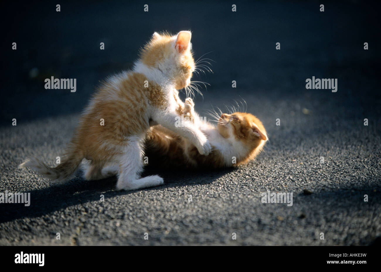 Hauskatze Jungtiere spielend domestic cat kitten playing - Stock Image