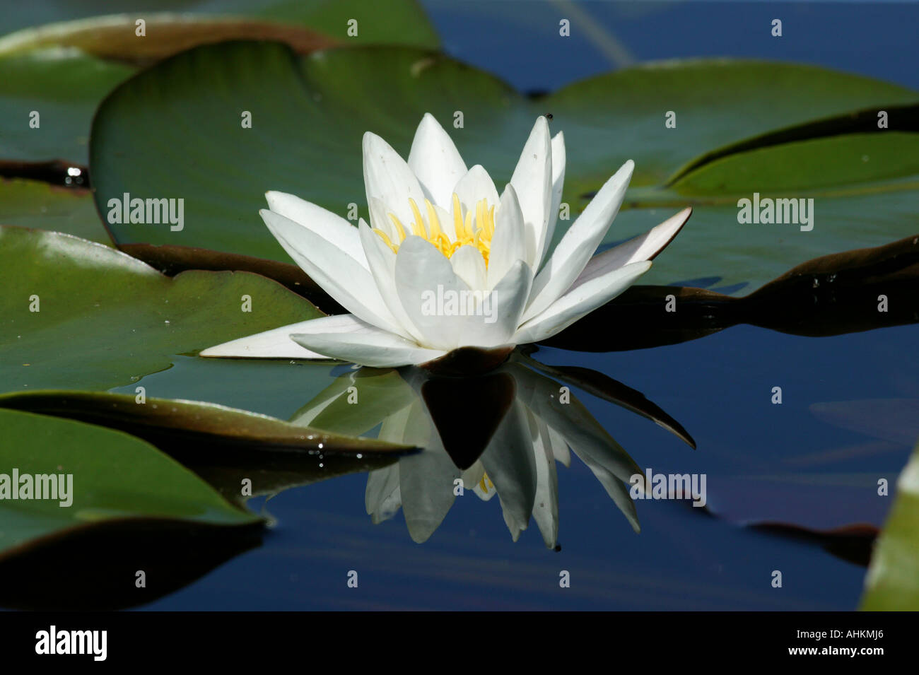 European white water lily, Nymphaea alba, in the lake Vansjø in Østfold, Norway. - Stock Image