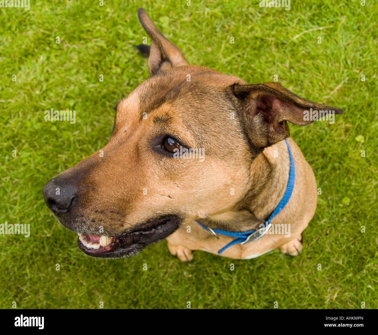 An alert brown dog sits and looks to its side - Stock Image