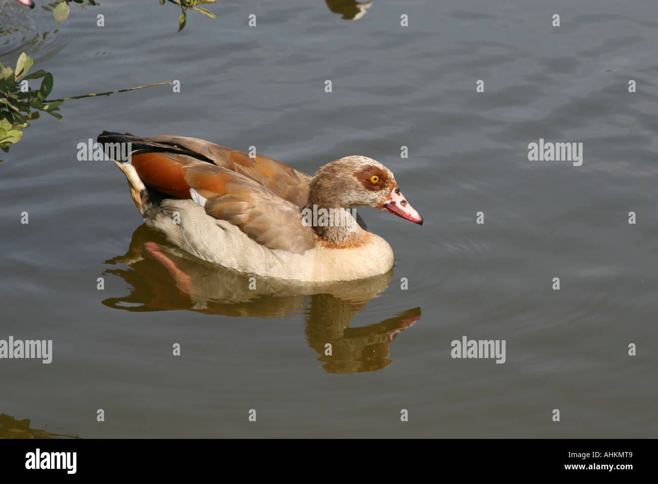egyptian goose a type of duck on pond bank stock photo 8284808 alamy