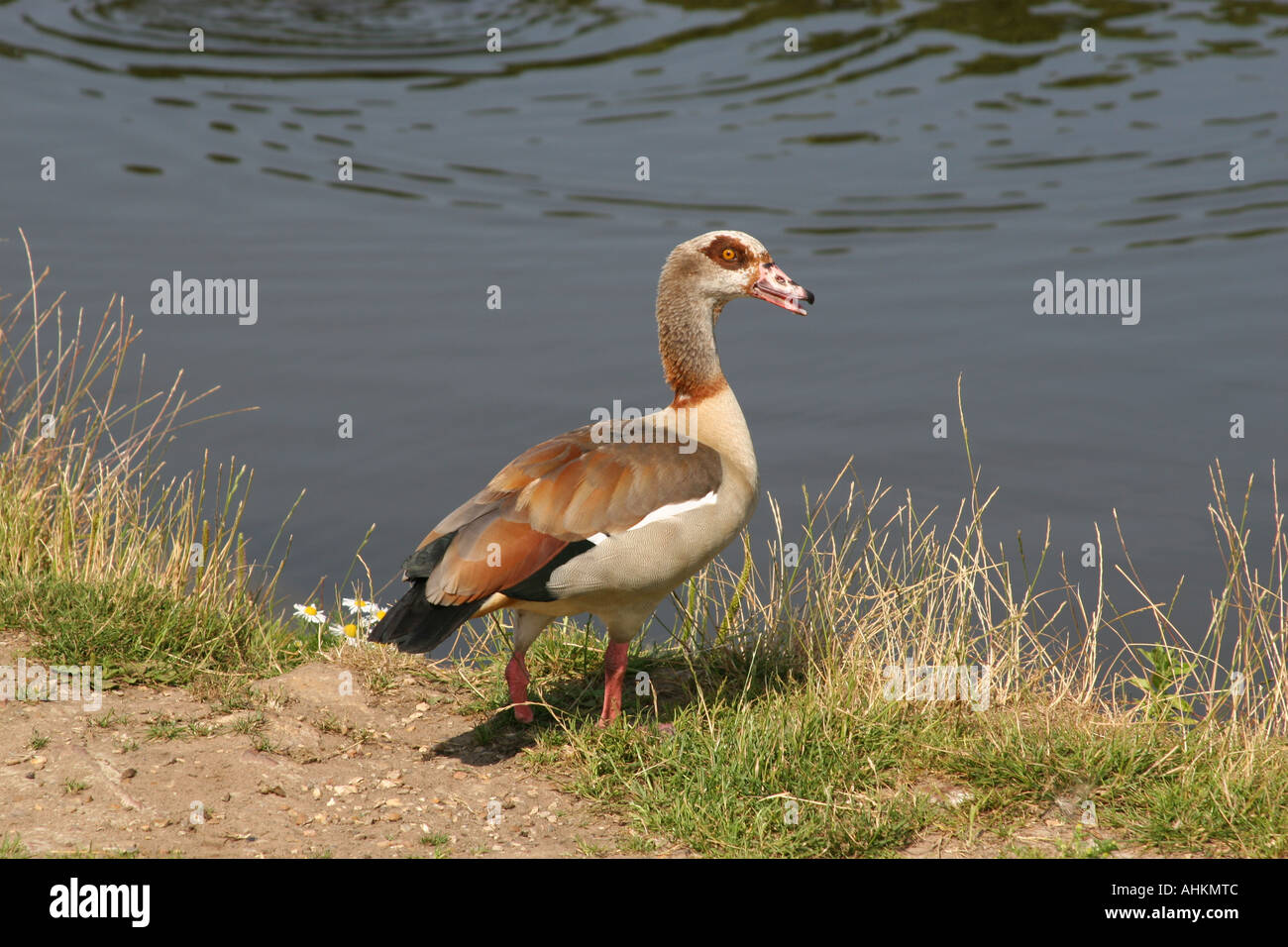 egyptian goose a type of duck swimming on pond stock photo 8284811