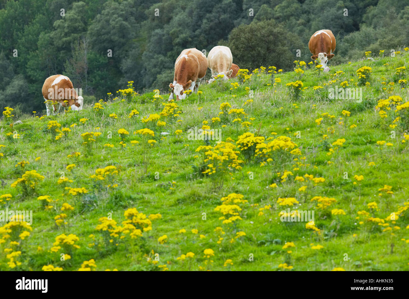 Common Ragwort, Senecio jacobae, in a field grazed by beef cattle Stock Photo
