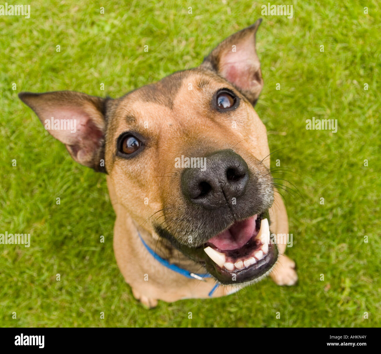 A alert and excited brown dog waits open mouthed as it looks up at the camera - Stock Image