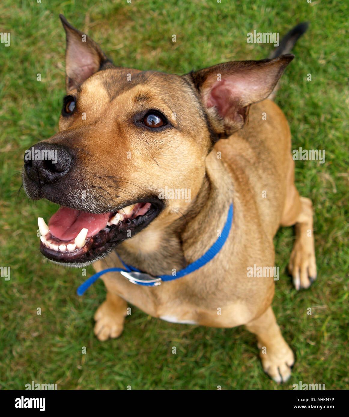 An excited and alert male brown dog smiles up at the camera - Stock Image