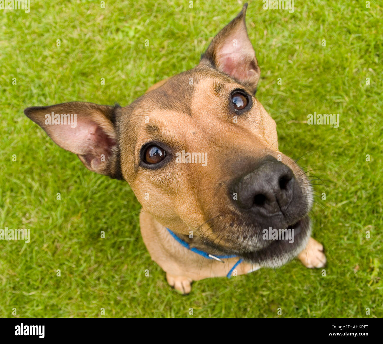 Close up of a cute brown dog looking up into the camera - Stock Image