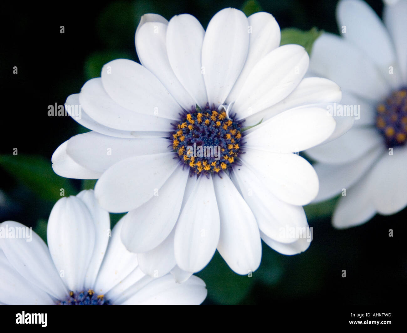 Close up of white osteospermum flower with blue and yellow centre close up of white osteospermum flower with blue and yellow centre izmirmasajfo