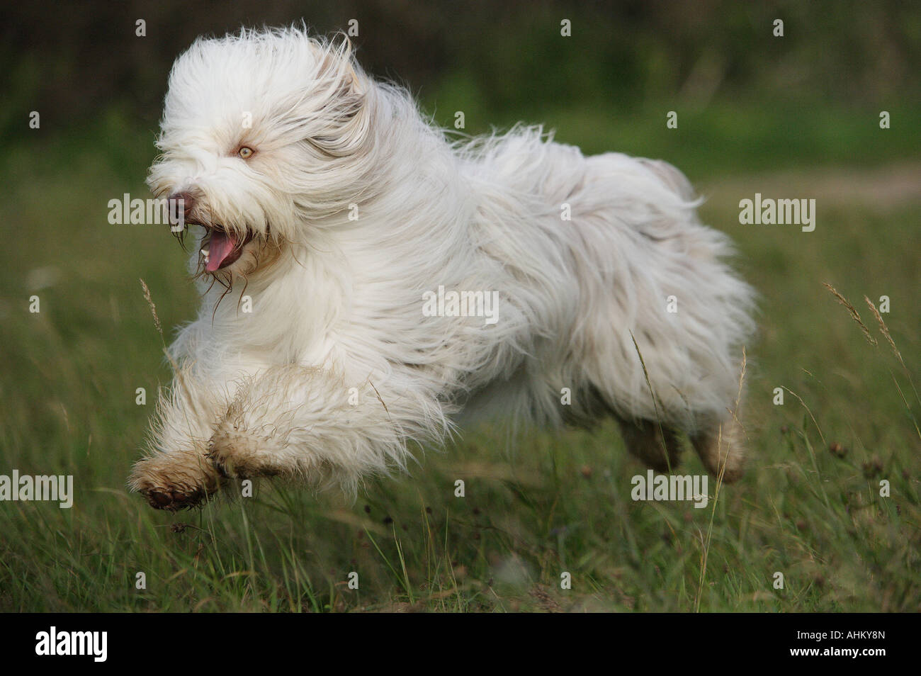Bearded Collie - running on meadow - Stock Image