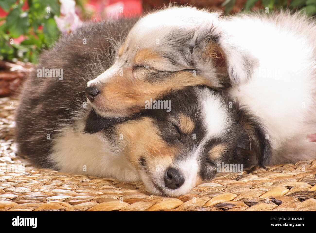 Shetland Sheepdog Sheltie Two Puppies Sleeping Stock Photo