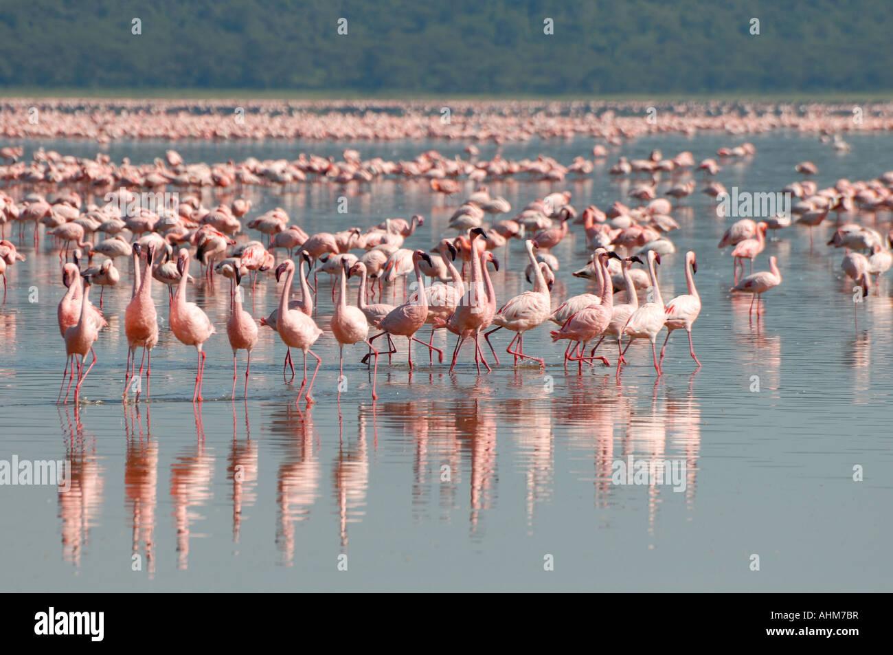 Lesser Flamingos in Lake Nakuru Lake Nakuru National Park Kenya East Africa Stock Photo