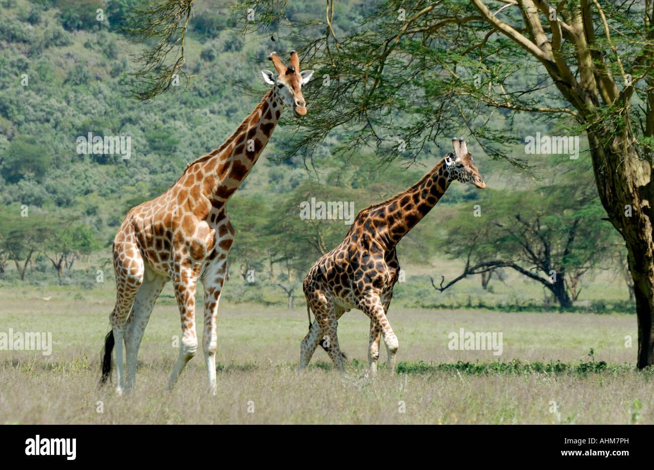 Two adult male Rothschild s Giraffe in Lake Nakuru National Park Kenya East Africa - Stock Image