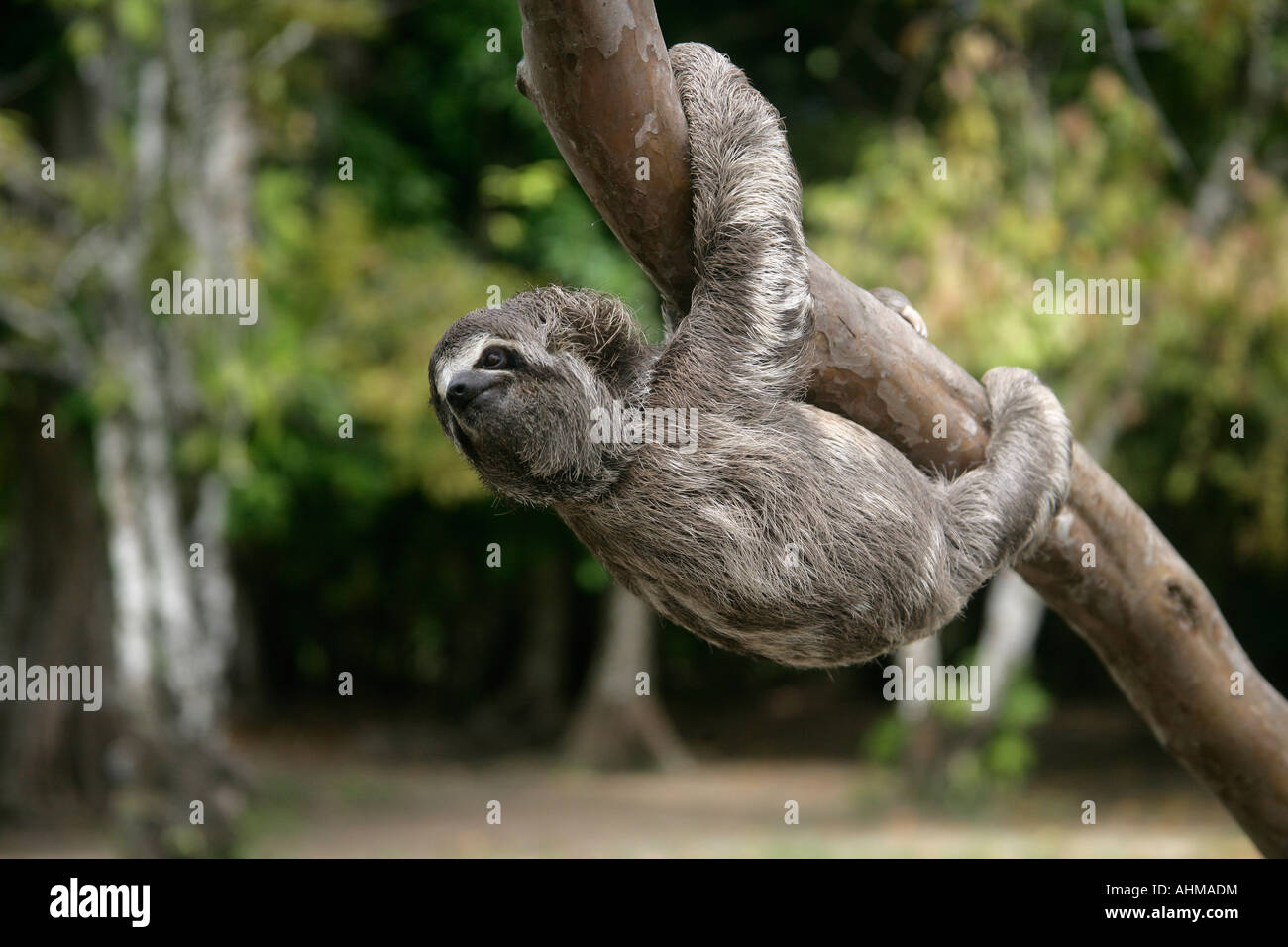 Brown throated three toed sloth Bradypus variegatus Youngster Brazil Stock Photo