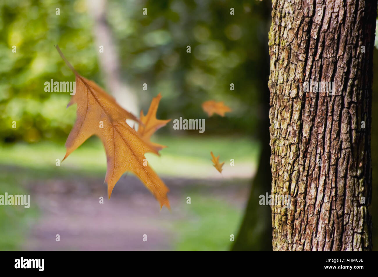 Autumn Leaves falling from a tree - Stock Image