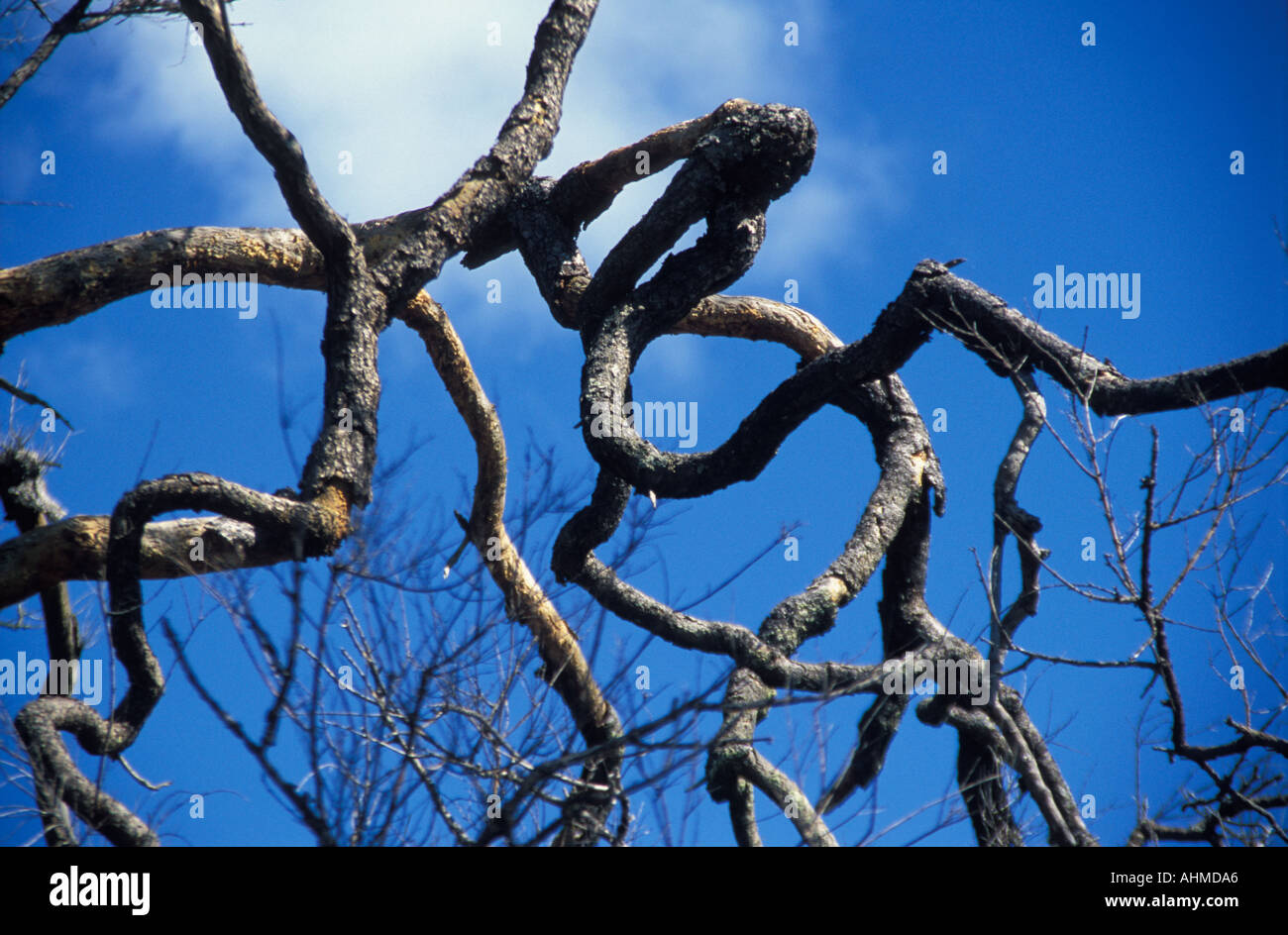 Contorted tree in Chapada Dos Veadeiros, Central Brasil - Stock Image