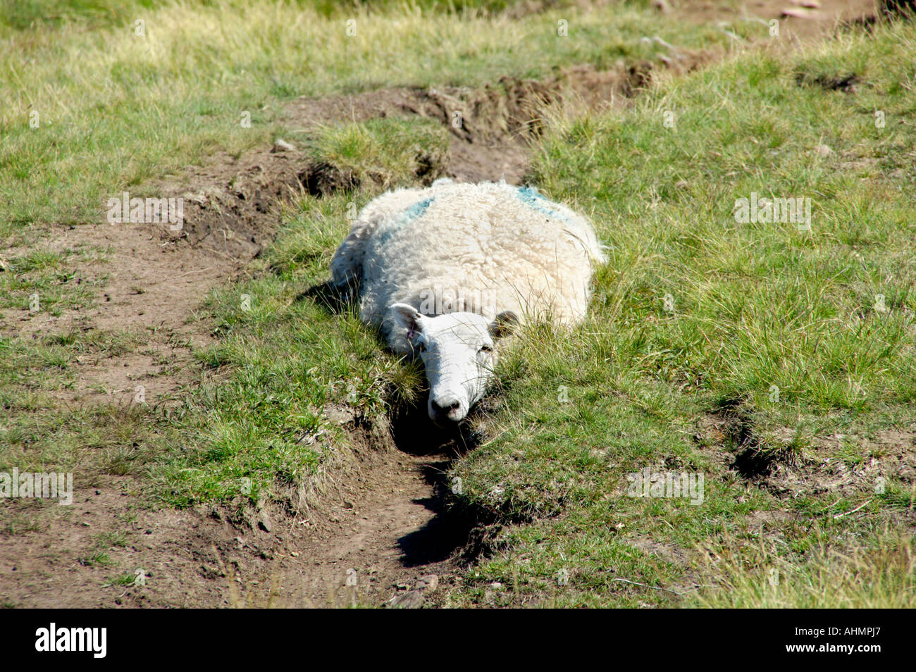Sheep trying to keep cool in an erosion rut in the Brecon Beacons National Park Powys South Wales UK - Stock Image