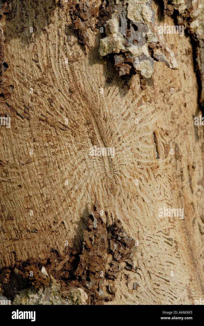 Brood gallery and radiating chamber made under the bark of an elm tree Ulmus species by an Elm Bark Beetle and its lava - Stock Image