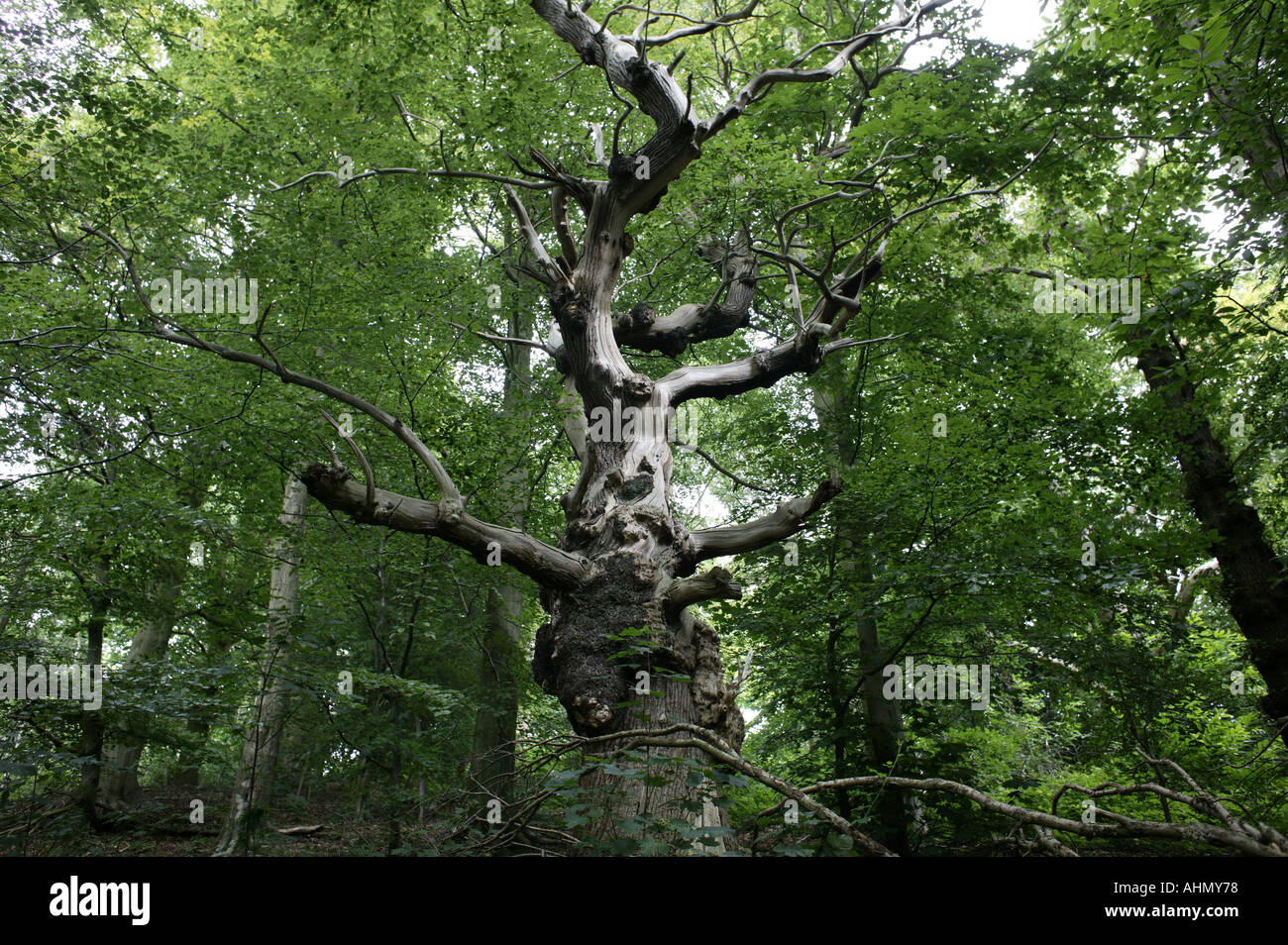 an old dead tree in the middle of Hanbury Woods Worcestershire England UK - Stock Image