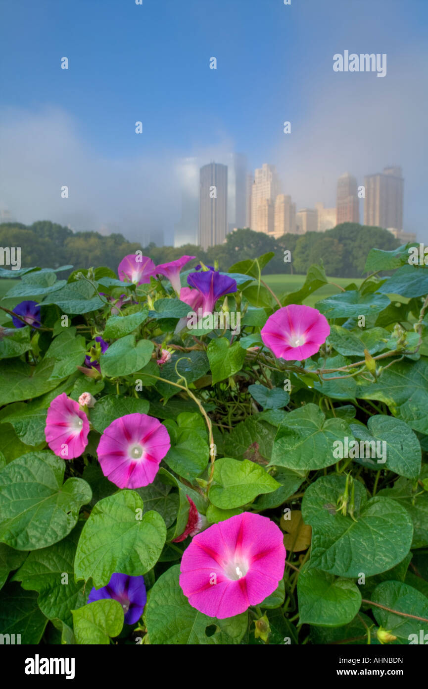 Wall of morning glories - Stock Image