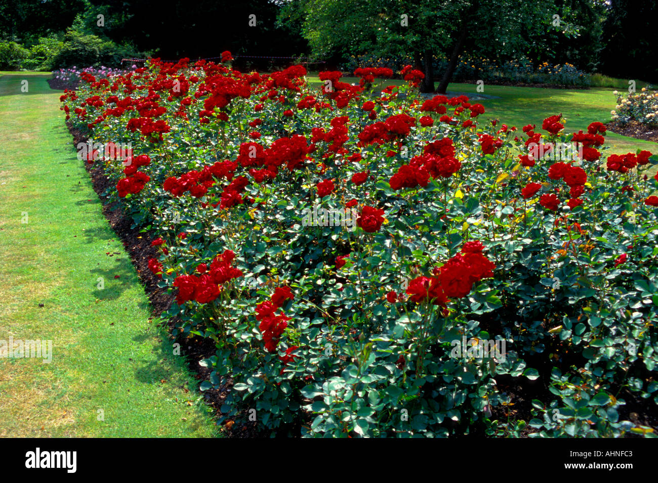 Rosa Lili Marlene - Stock Image