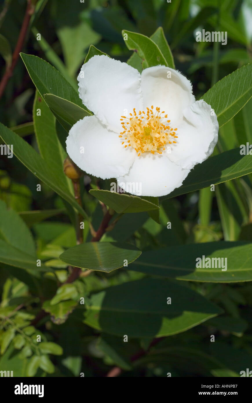Loblolly bay gordonia lasianthus flower and leaves leaf tree tea loblolly bay gordonia lasianthus flower and leaves leaf tree tea family white flowerring florida swamp plant mightylinksfo